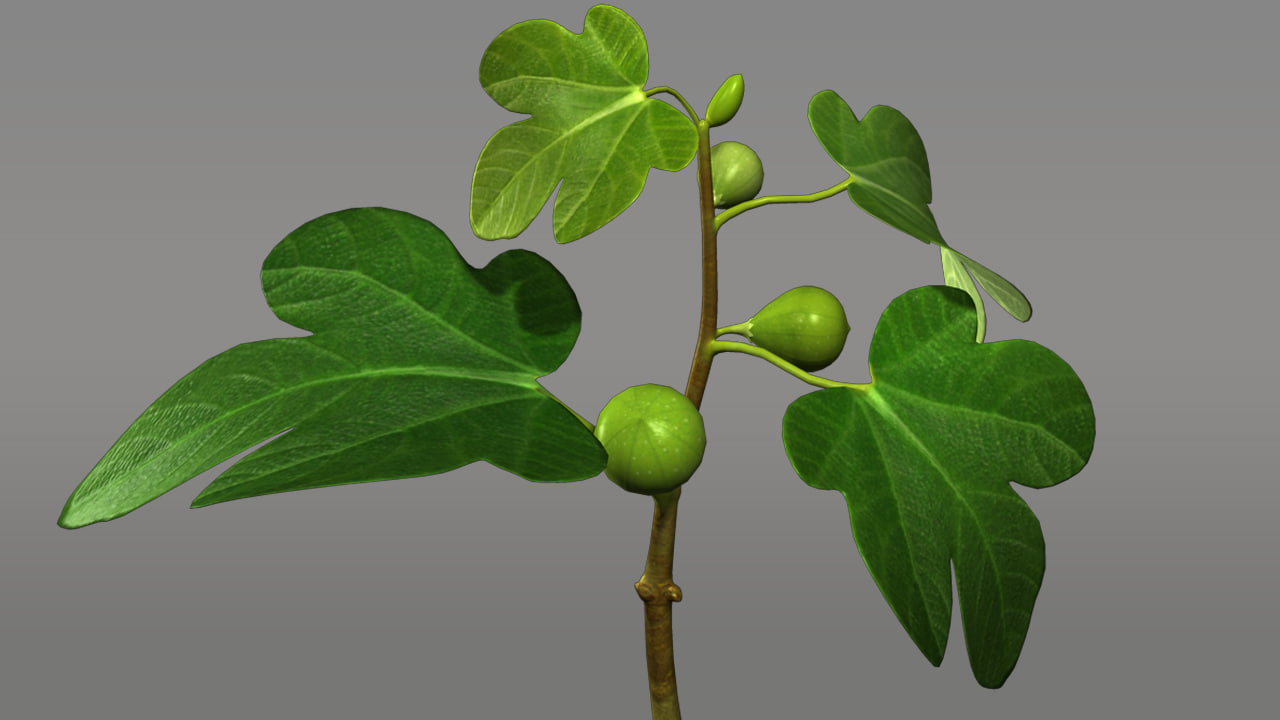 maya ficus trees shrubs