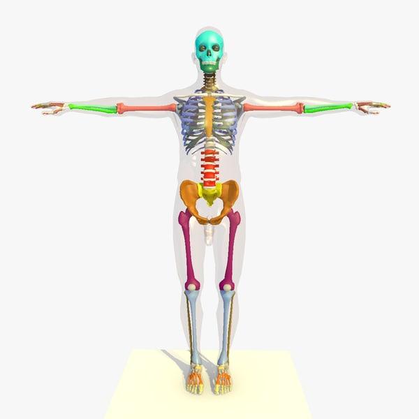 Colour Male Skeleton 3D Models
