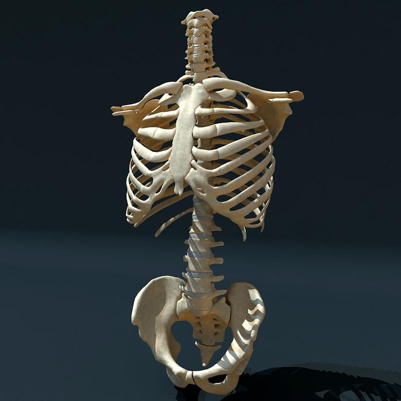 Torso_Skeleton_Render_01.jpg