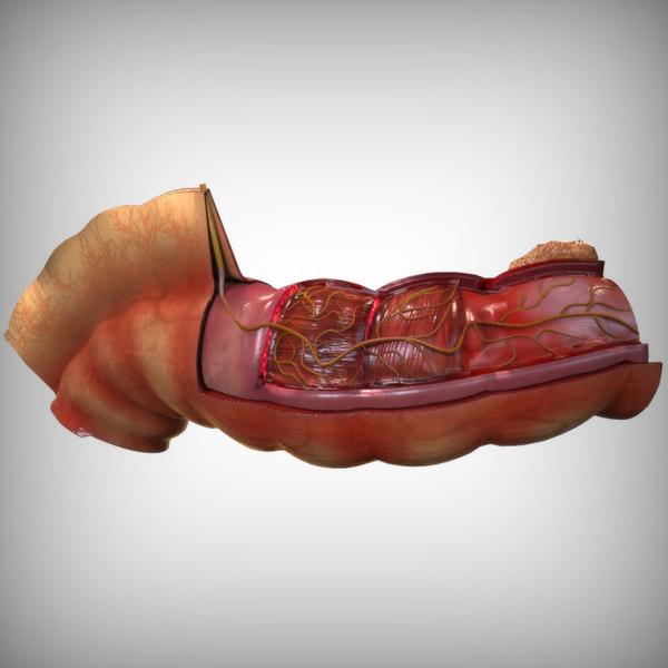 Intestine Anatomy 3D Models