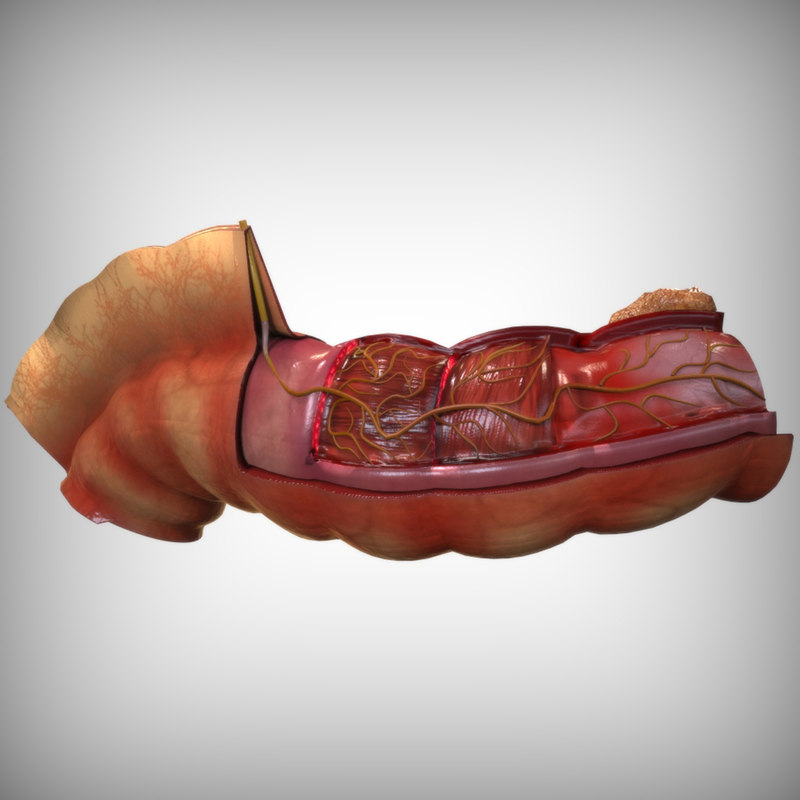 Human anatomy intestines