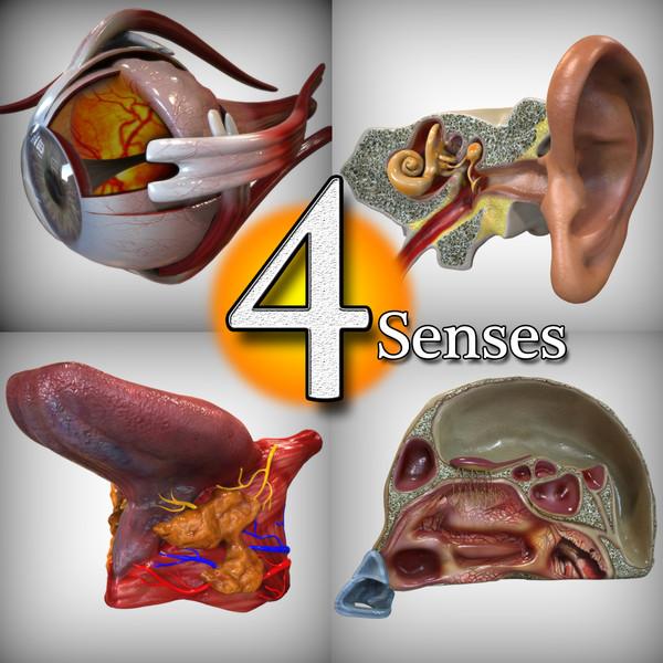 Human Four Senses 3D Models