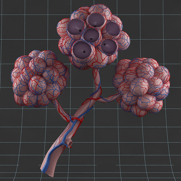 Anatomy_pulmonary alveolus