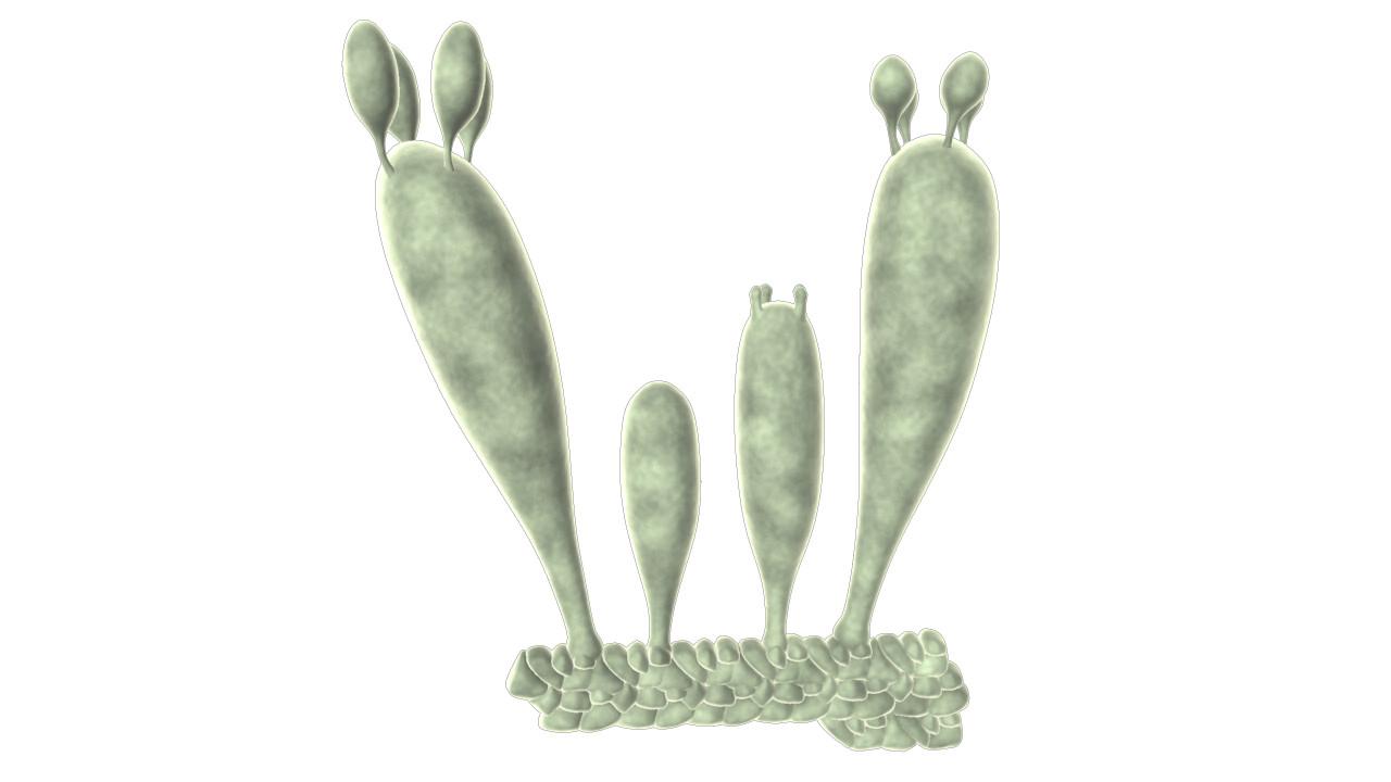 Basidiospores