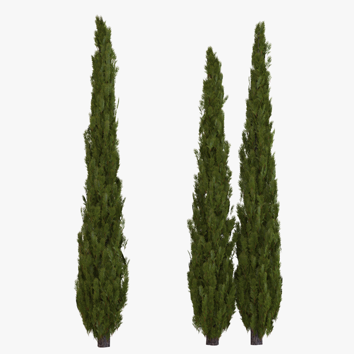 Pictures Of Italian Cypress Tree 58