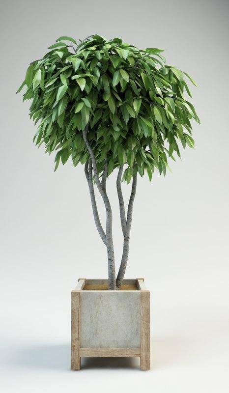 fig tree ficus 2