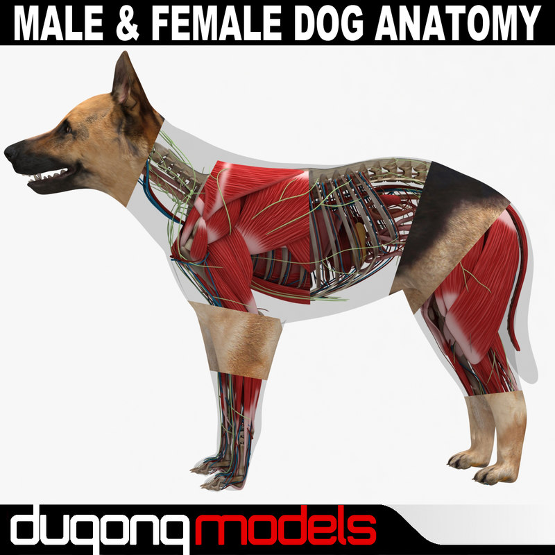 Anatomy of a male dog