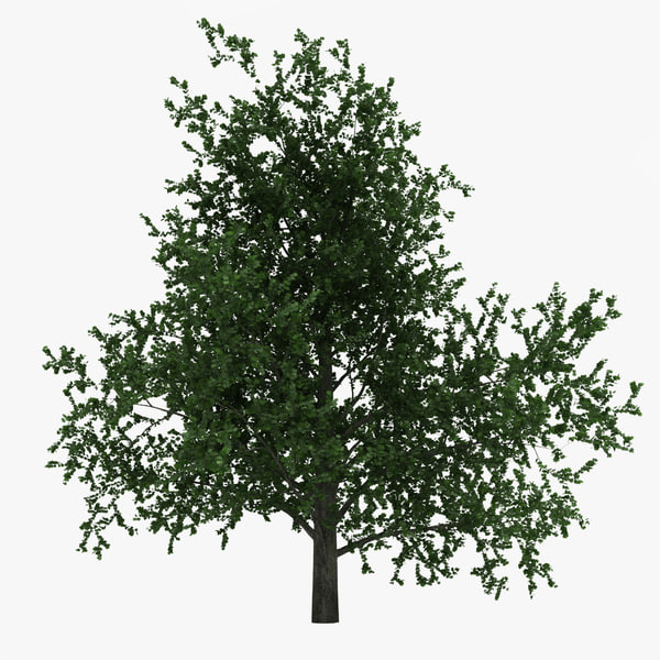 Platanus Tree 3D Models