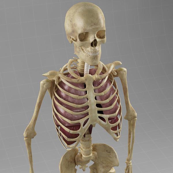 Anatomy_lungs_diaphragm_skeleton_c