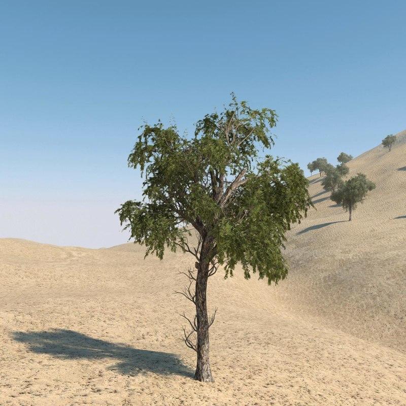 Ghaf Tree 03