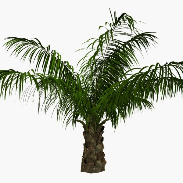 Oil Palm Tree 3d Model