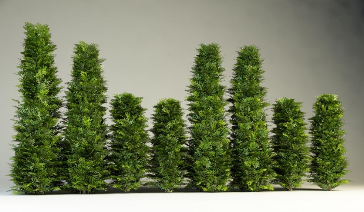 thuja hedge bush