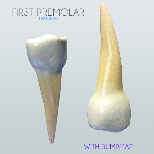 Human First Premolar