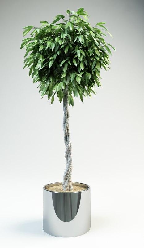 fig tree ficus