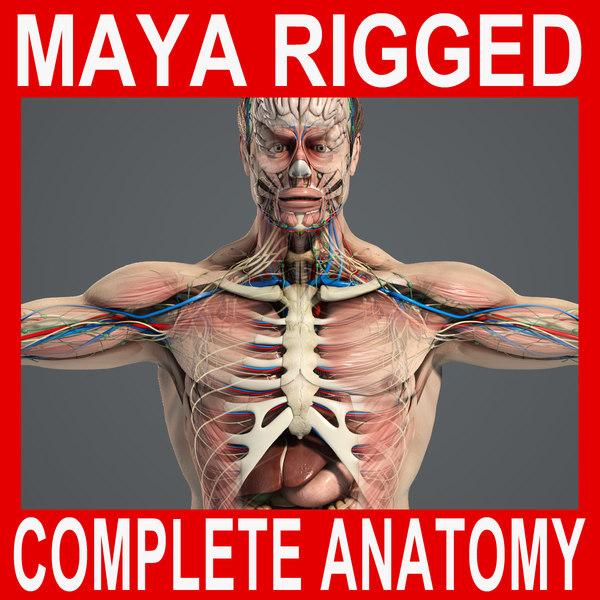 MAYA RIGGED Complete Male Anatomy PACK 3D Models