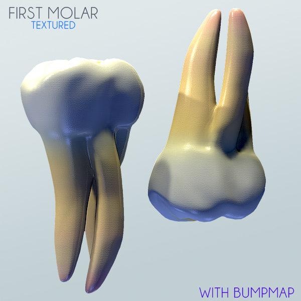 Human First Molar