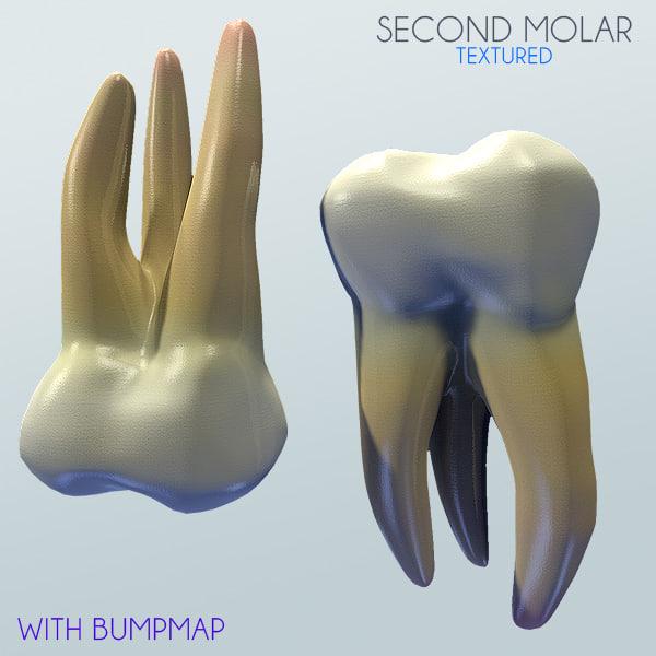 Human Second Molar