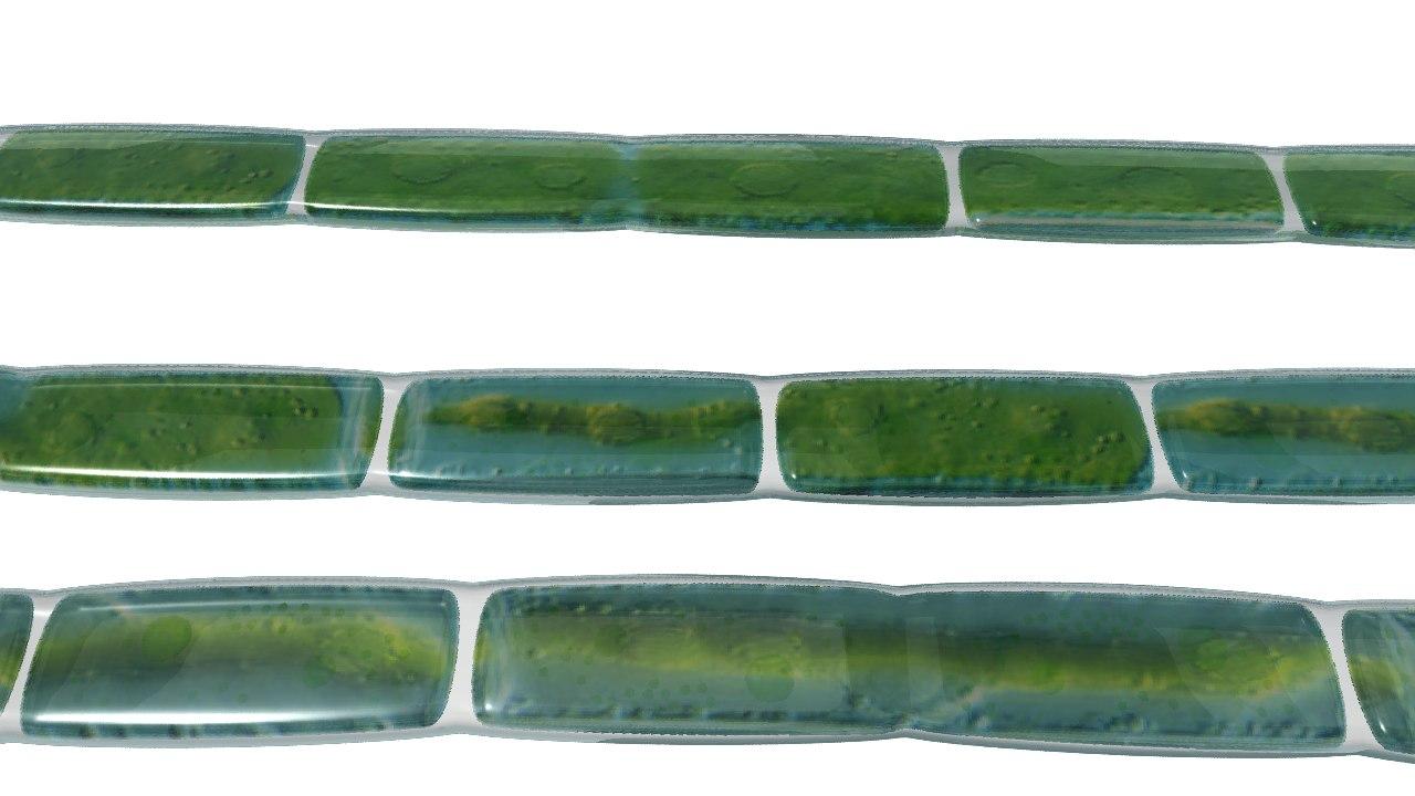 Plate like chloroplast_02.png