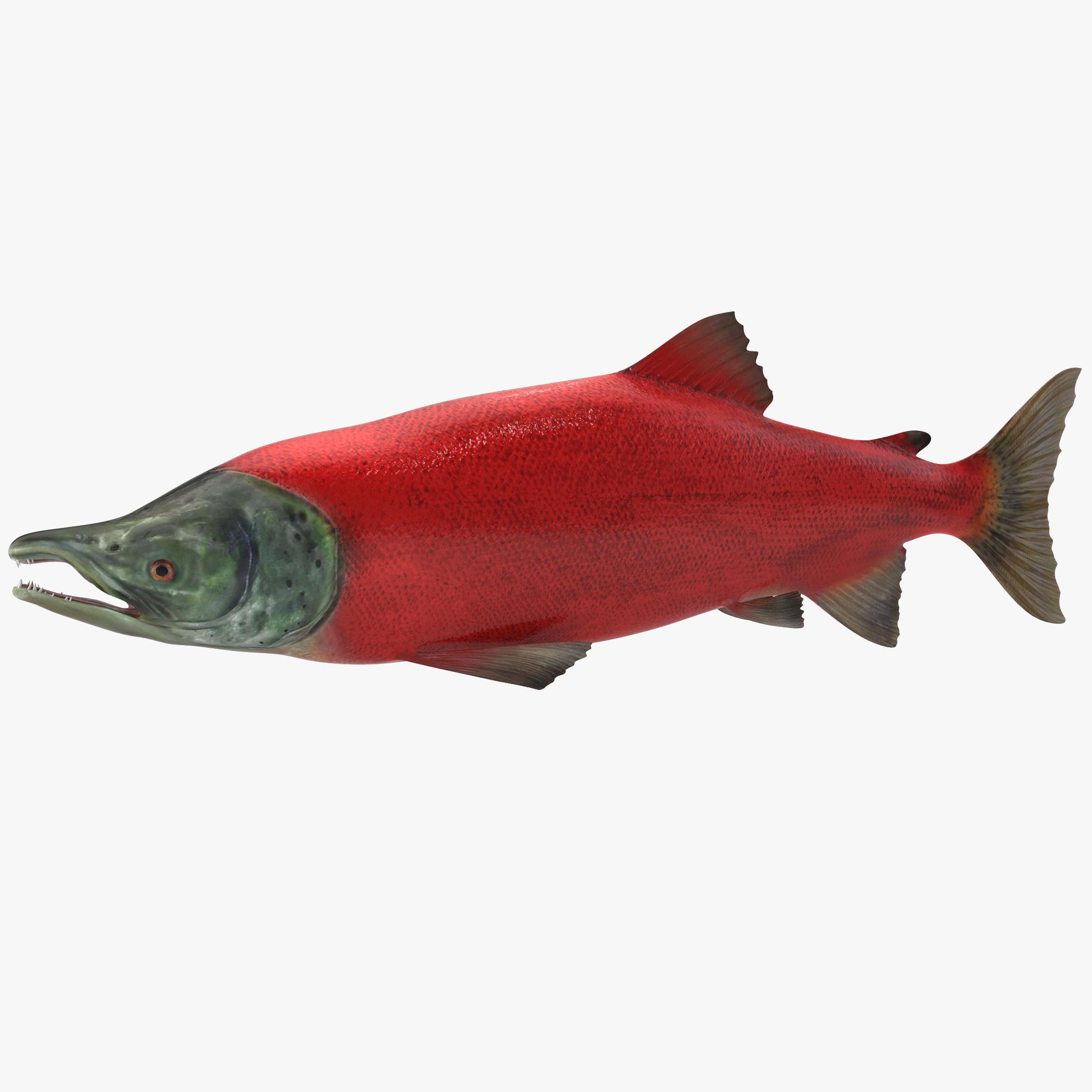 Red salmon fish - photo#39