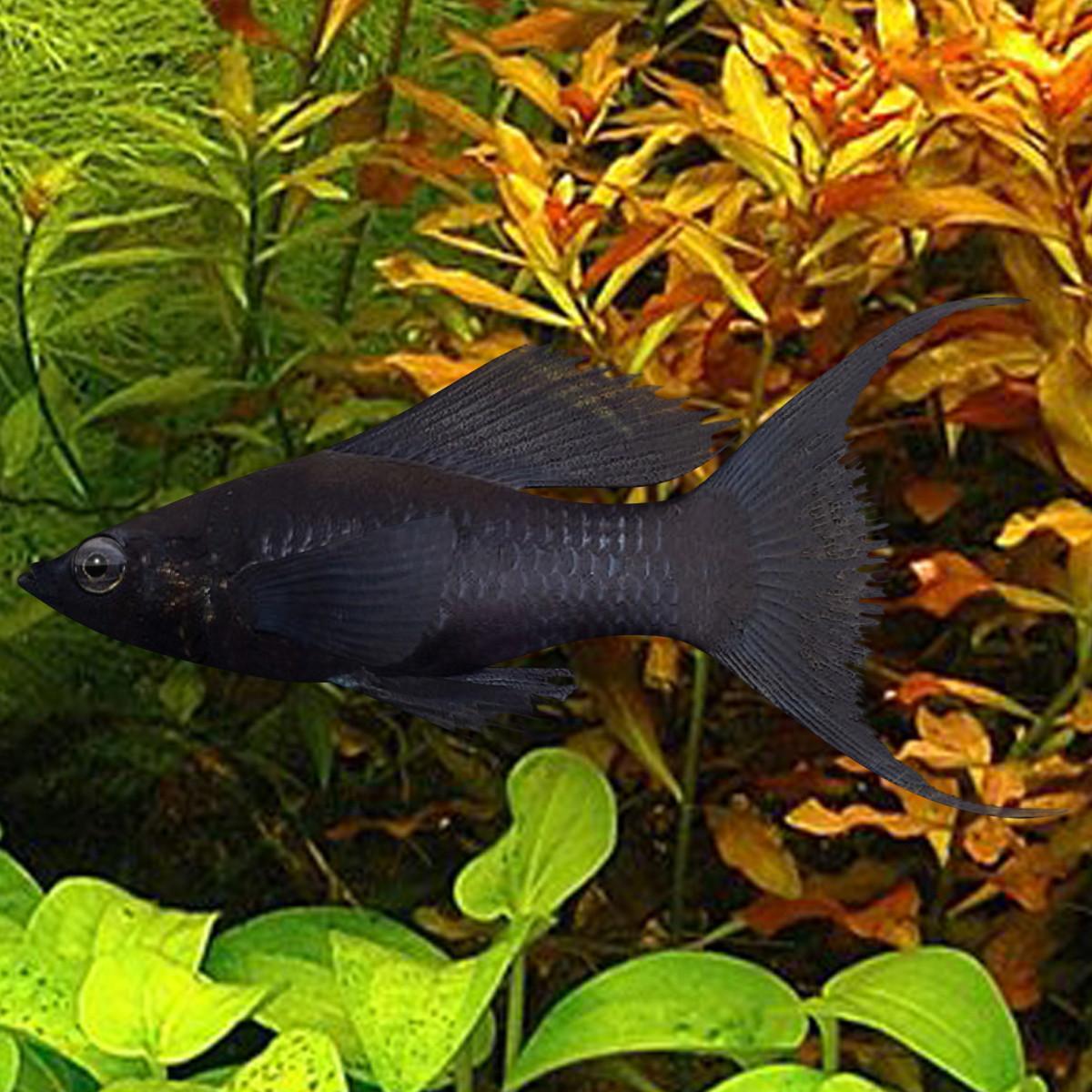 Molly Lyretail Sailfin Black