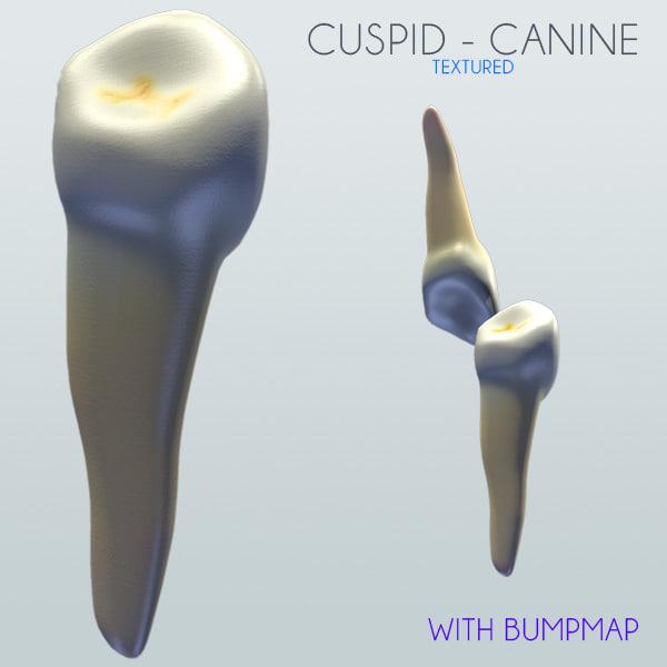 Human Cuspid Canine