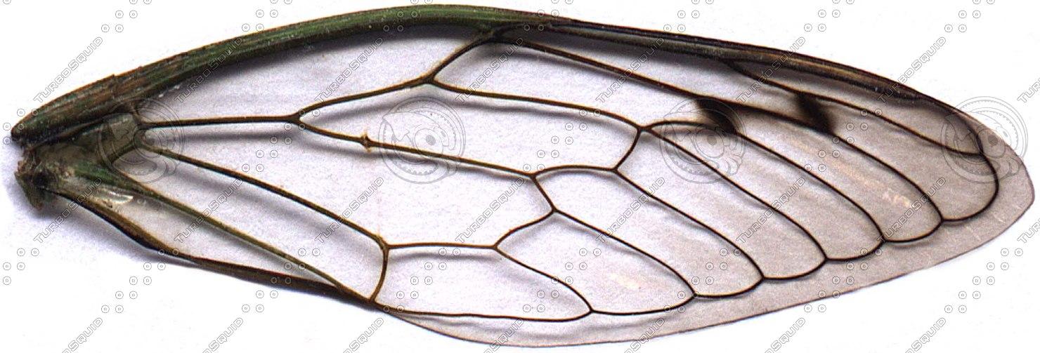 cicada-wing.jpg