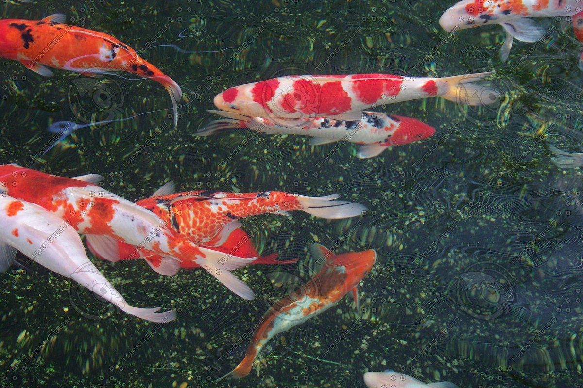 Stock jpg japanese koi fish for Koi carp pond depth