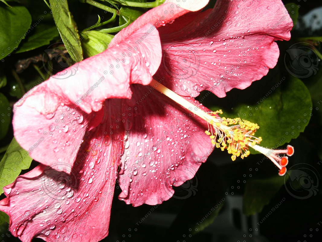 Pink Hibiscus side view.jpg