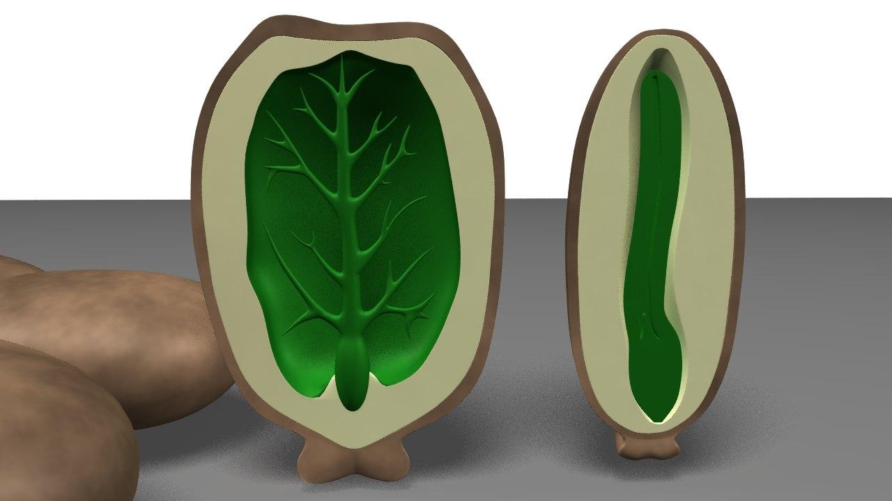 Endosperm of Castor Seed_03.png