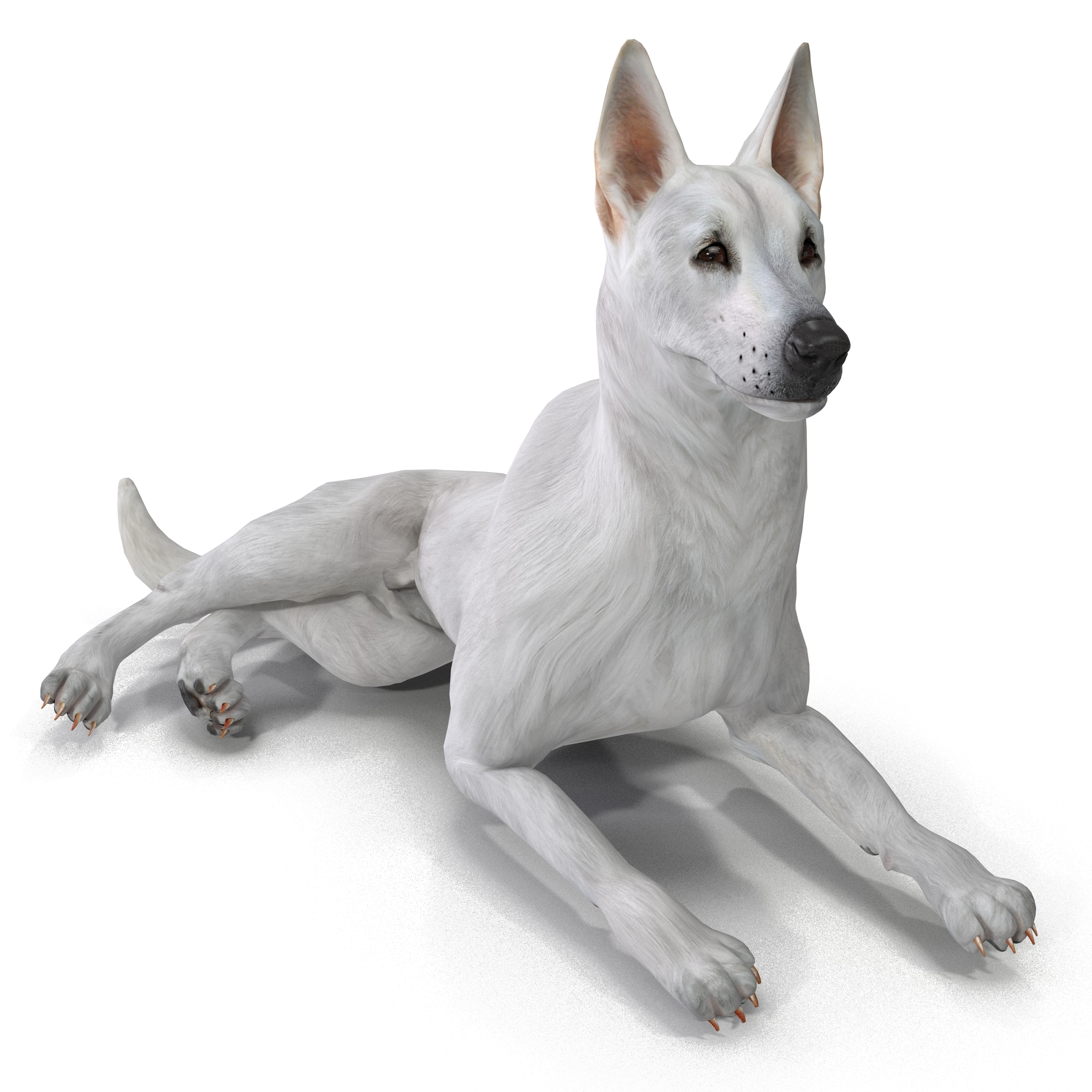 White Shepherd Dog Pose 5