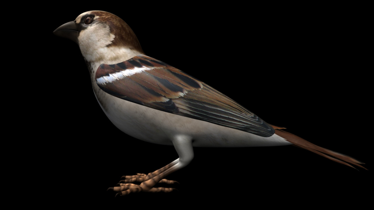 House_sparrow_01.jpg