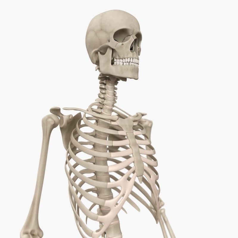 human skeleton 3d mode...