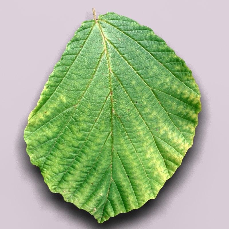 Witch hazel leaf (Hammamelis mollis)