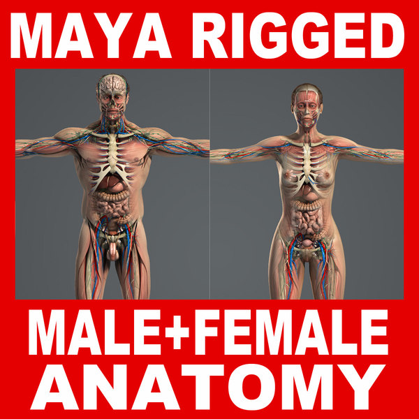 MAYA RIGGED Male and Female Anatomy Complete Pack (Textured) 3D Models