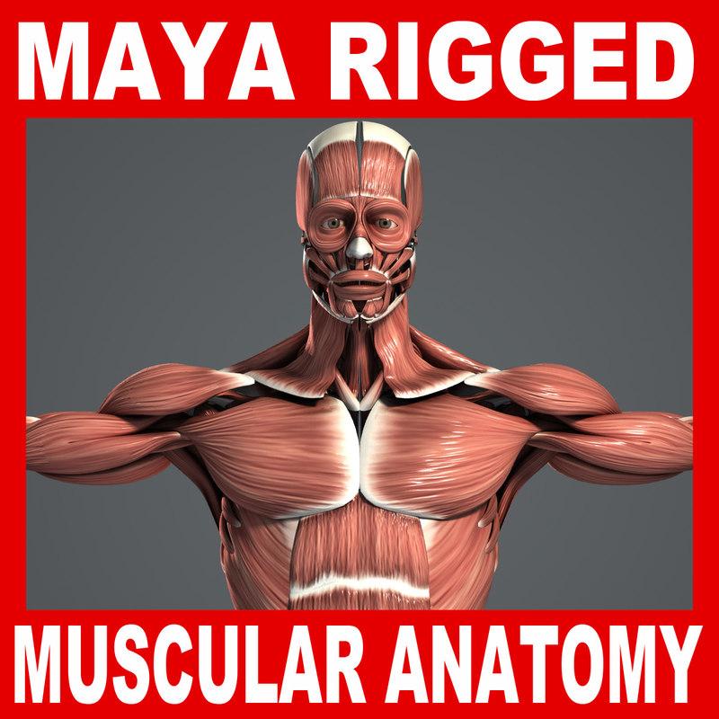 MAYA RIGGED Male Muscular System Anatomy 3D Model