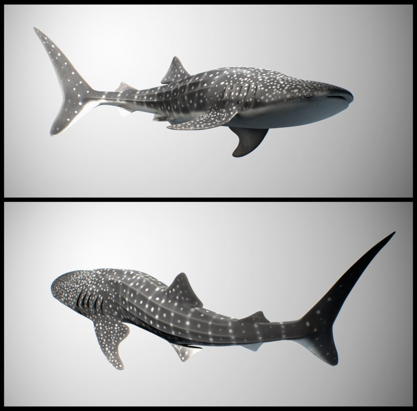 c_whale_shark.png