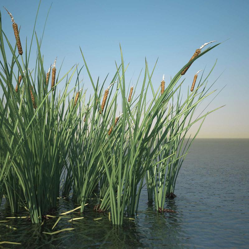 Common Bulrush Grass