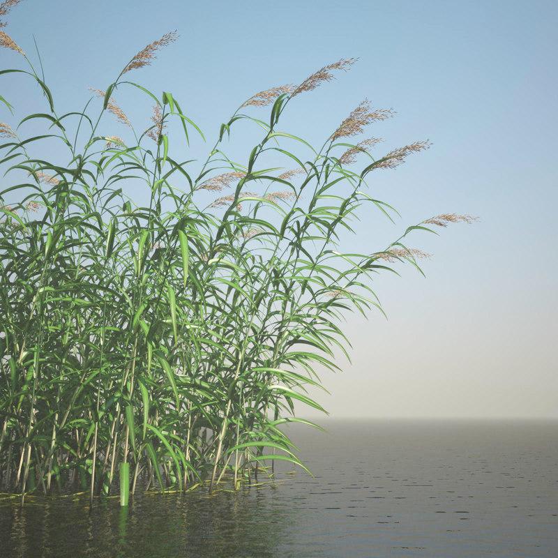 common reed 00 realistic bg.jpg