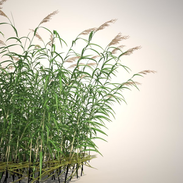 Common Reed Grass 3D Models