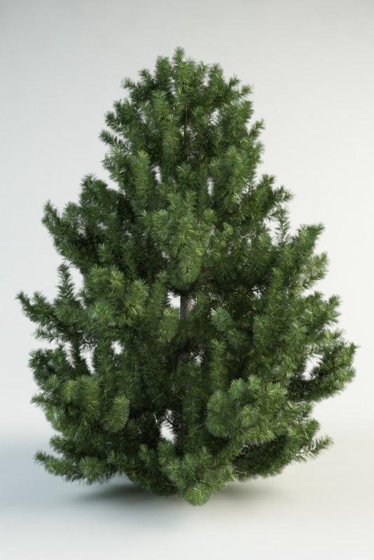 black pine pinus nigra austriaca