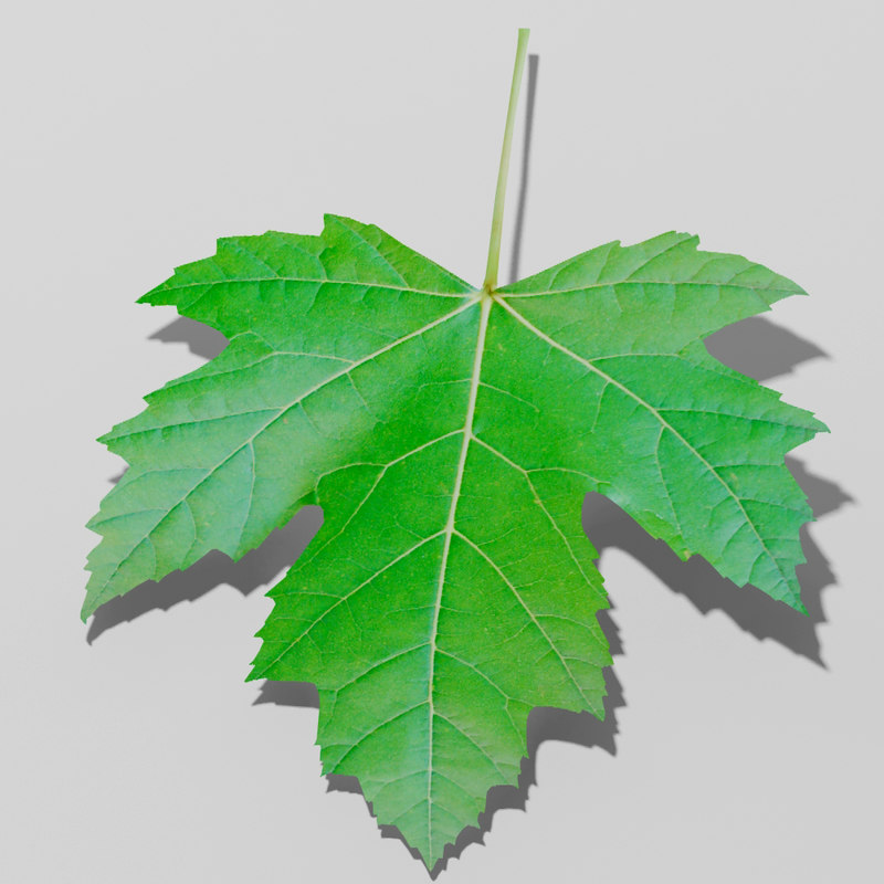 Maple Leaf vs Sycamore Leaf Sycamore Maple Leaf Trees 3d