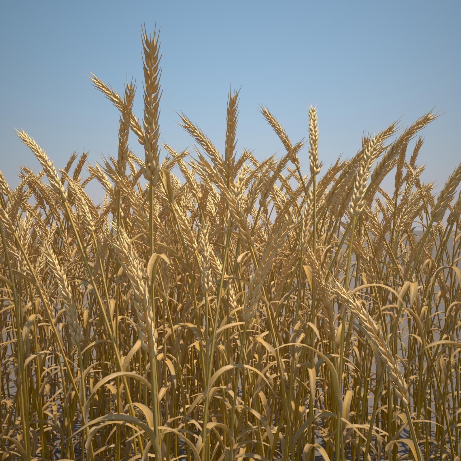 Common_Wheat_001_mature_mat.jpg