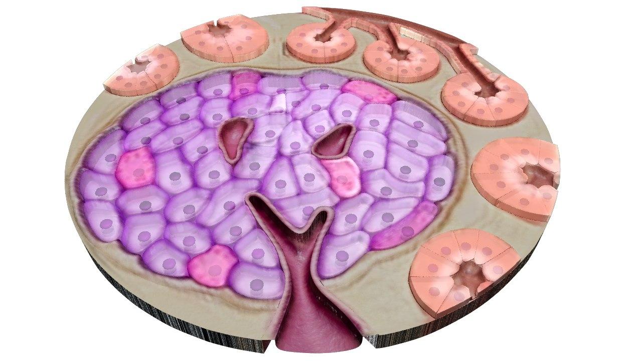 Pancreatic gland_02.png