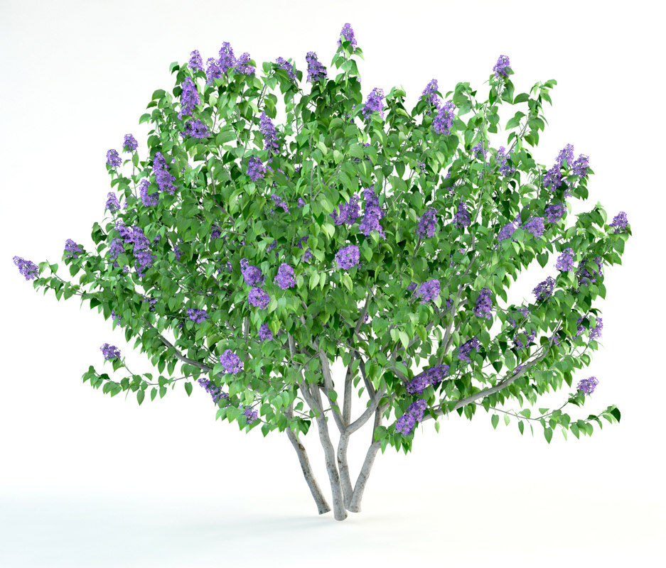 lilac syringa bush