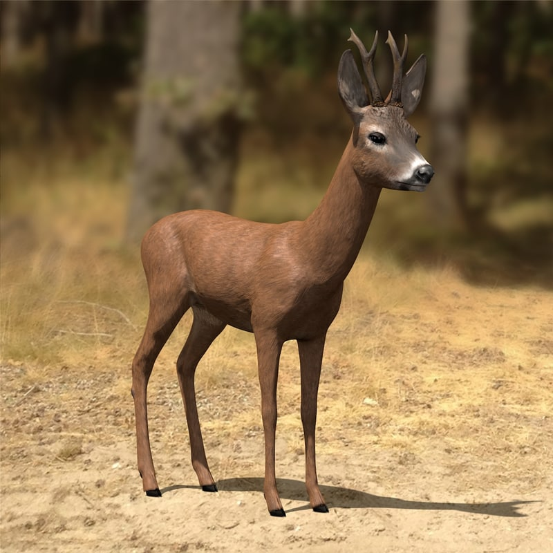 Roe-Deer-Buck