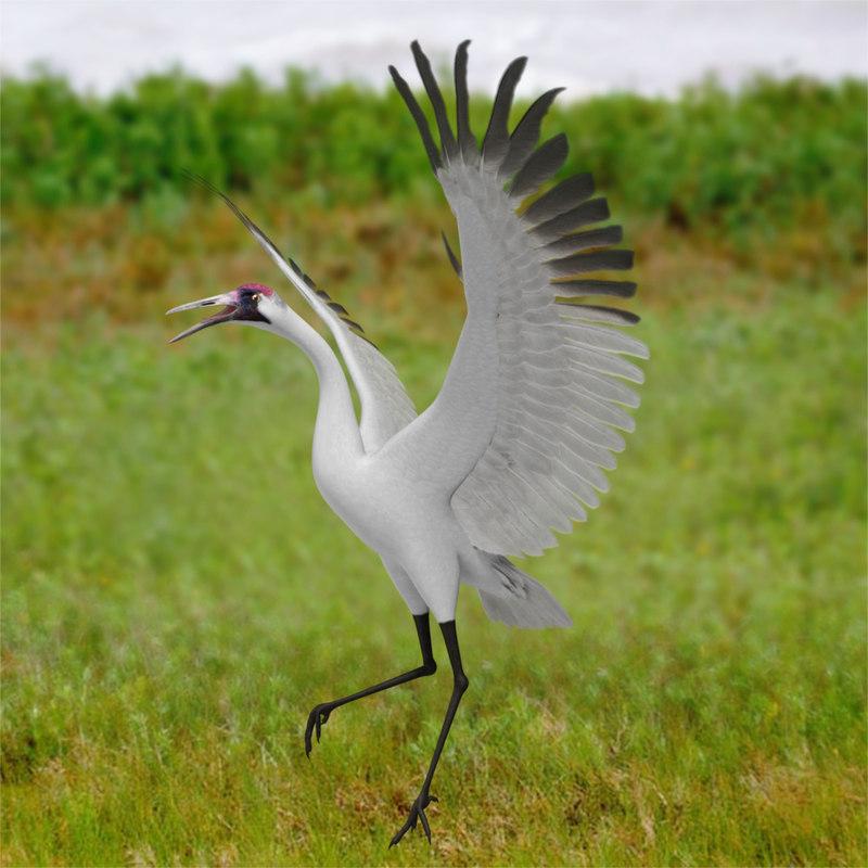 Grus Americana 'Whooping Crane'