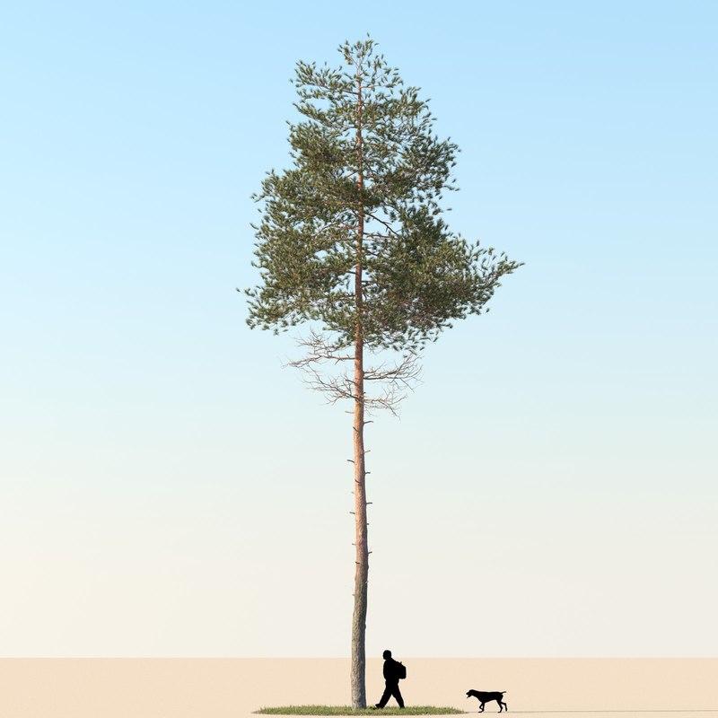 Pine Tree 01