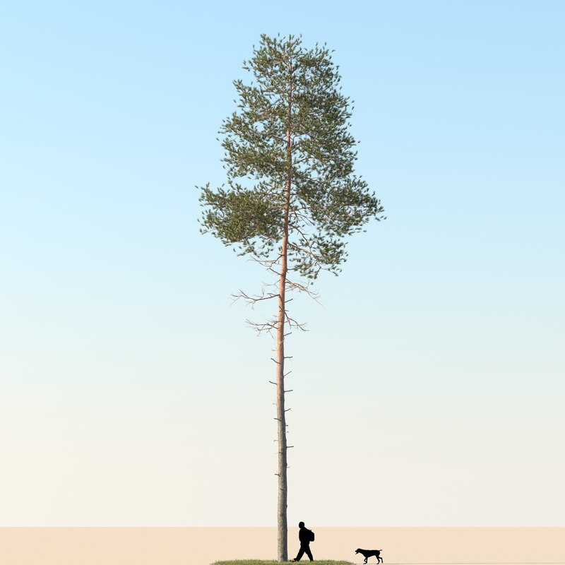 Pine Tree 04