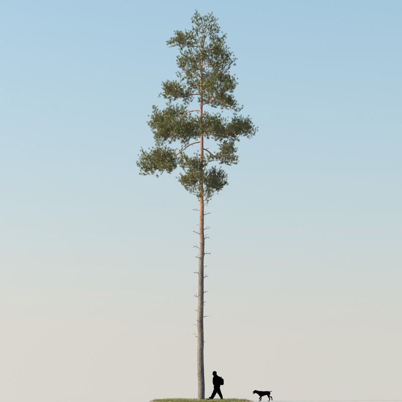 Pine Tree 09