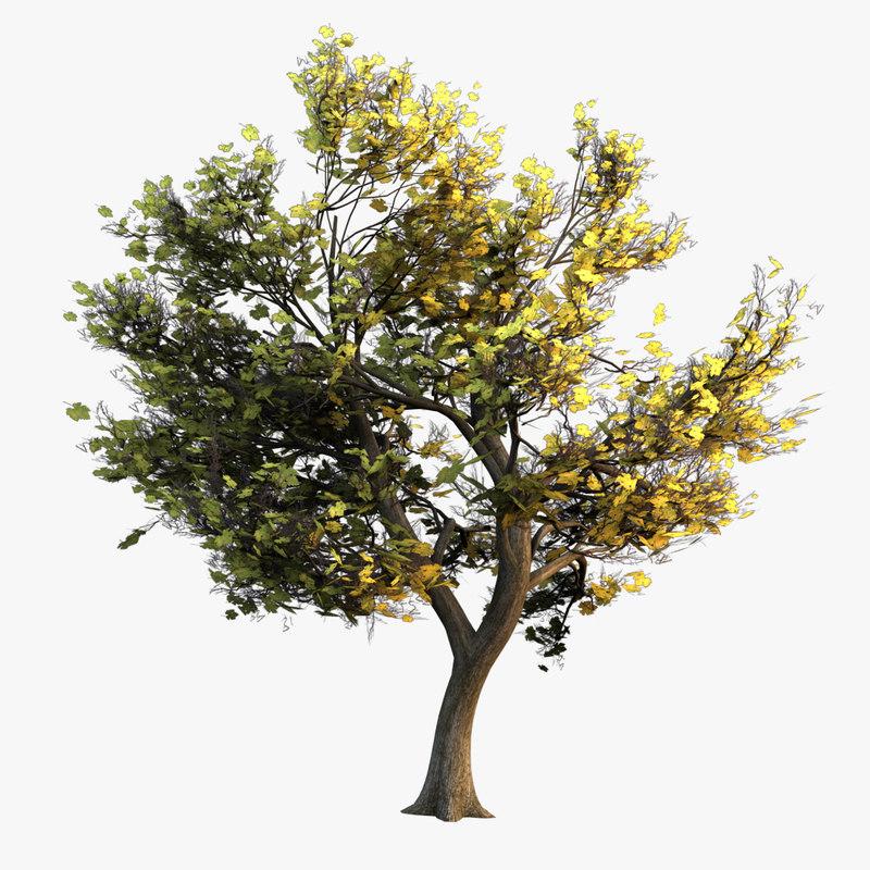 Maple tree - 02.jpg